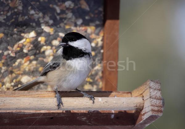 Snacking Chickadee Stock photo © ca2hill