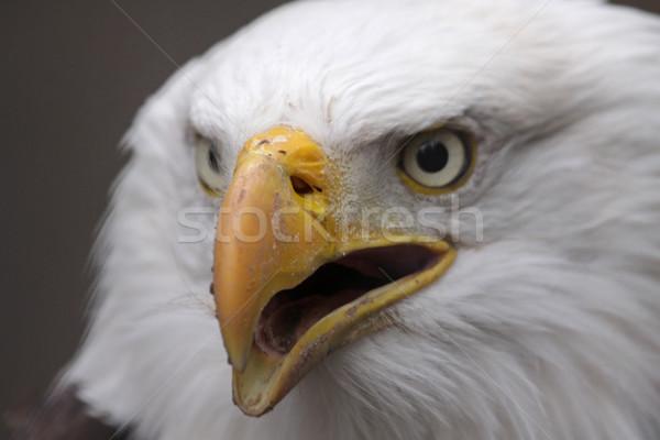 Stock photo: Speaking Bald Eagle