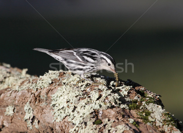 Snacking Black-and-white Warbler Stock photo © ca2hill
