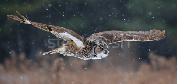 Gliding Great Horned Owl Stock photo © ca2hill