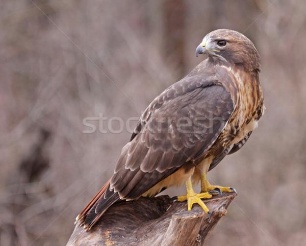 Falcão olhando de volta sessão cara natureza Foto stock © ca2hill
