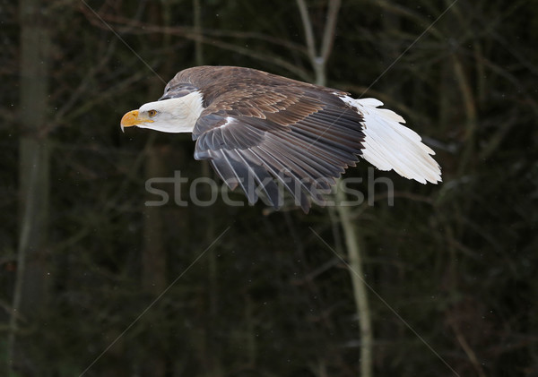 Gliding Bald Eagle