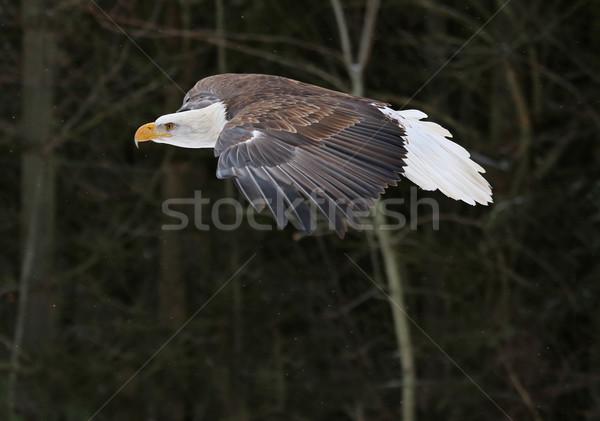 Kaal adelaar verleden bos macht vliegen Stockfoto © ca2hill