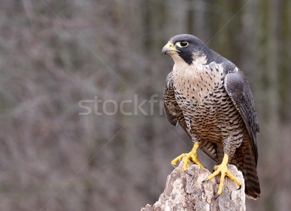 Perched Peregrine Falcon Stock photo © ca2hill