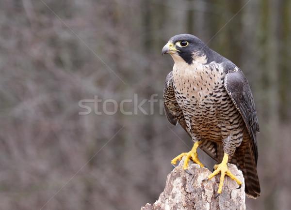 Perched Peregrine Falcon Stock photo © ca2hill