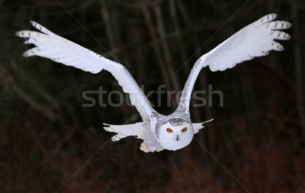 Snowy Owl Flying Right At You Stock photo © ca2hill