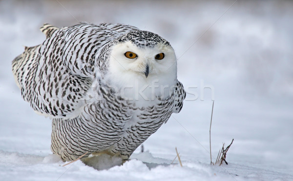 Leaning Snowy Owl Stock photo © ca2hill