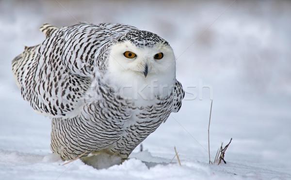 Uil vergadering sneeuw ogen winter Stockfoto © ca2hill