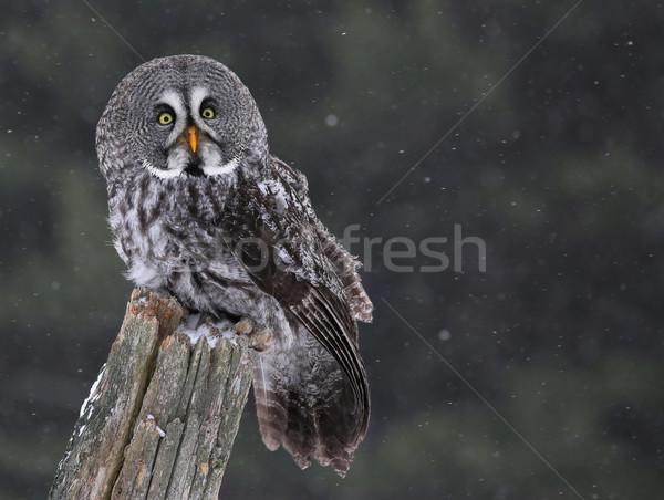 ül nagyszerű szürke bagoly szürke hó Stock fotó © ca2hill