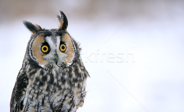 Bagoly ül arc szemek hó toll Stock fotó © ca2hill