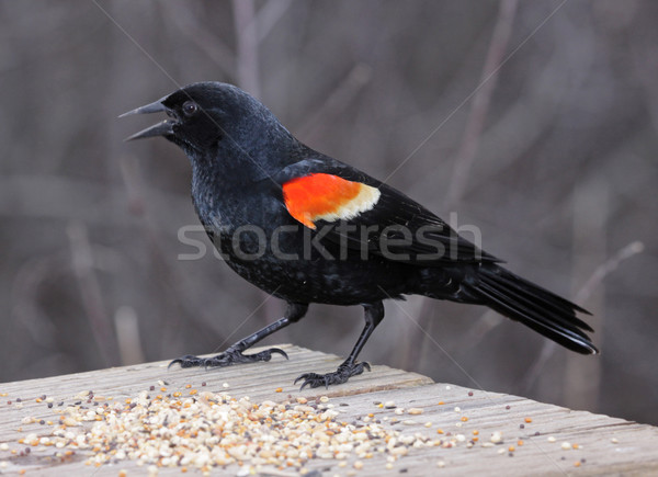 Melro masculino pássaro tiro cambridge Foto stock © ca2hill