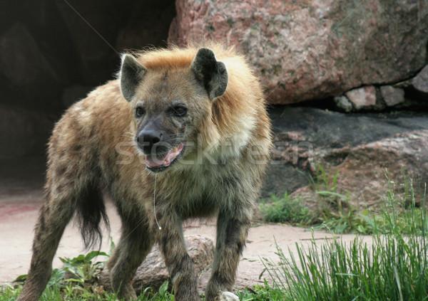 Hyäne hängen heraus aussehen Knochen horizontal Stock foto © ca2hill