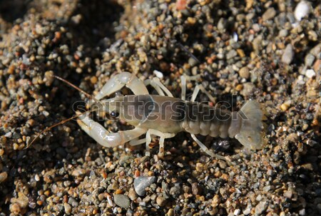 Crayfish on Shore