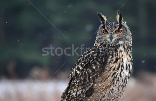 Fier eagle owl séance neige relevant yeux Photo stock © ca2hill