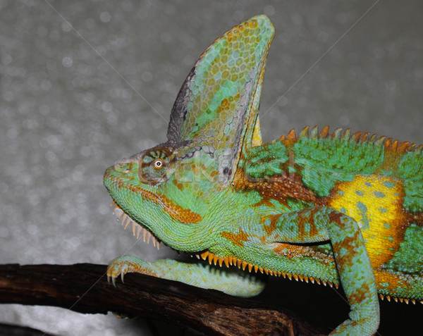 Male Veiled Chameleon