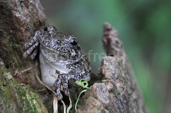Cute Tree Frog Stock photo © ca2hill