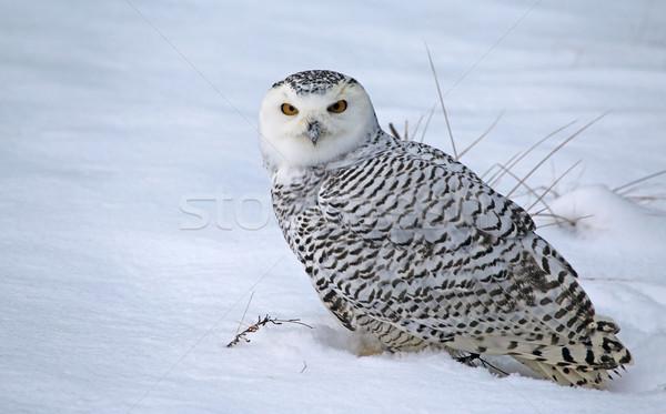 Sitting Snowy Owl Stock photo © ca2hill