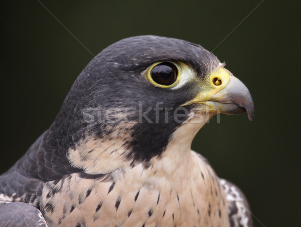 Peregrine Falcon Profile Close-Up Stock photo © ca2hill