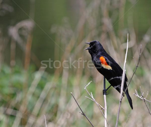 Cantando mirlo masculina tiro ontario Canadá Foto stock © ca2hill