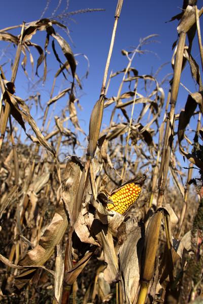 Maíz campo cosecha oído granja otono Foto stock © ca2hill