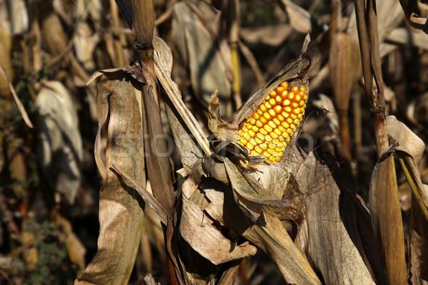 Oído maíz campo granja otono planta Foto stock © ca2hill