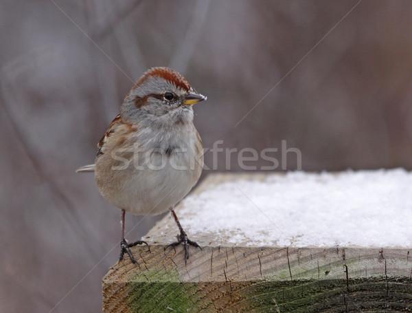 Amerykański drzewo wróbel profil posiedzenia ptaków Zdjęcia stock © ca2hill