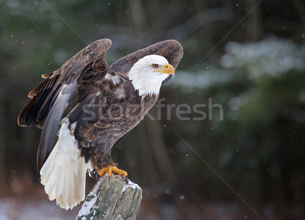 Chauve aigle post posant ailes up Photo stock © ca2hill