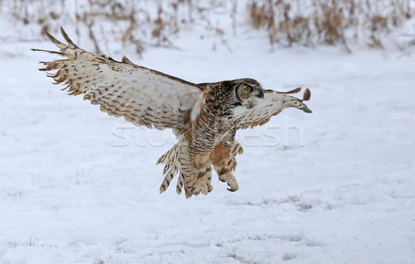 Stock fotó: Nagyszerű · bagoly · szárnyak · felfelé · hó · zuhan