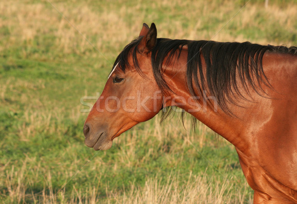 Horse Side Portrait Stock photo © ca2hill