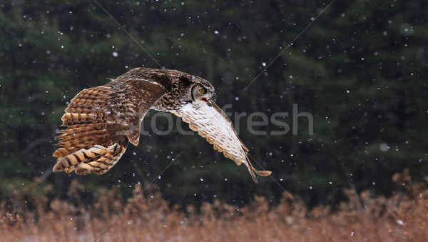 Speaking Great Horned Owl in Flight Stock photo © ca2hill