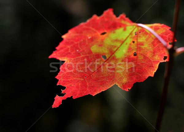 Crimson Backlit Maple Leaf Stock photo © ca2hill