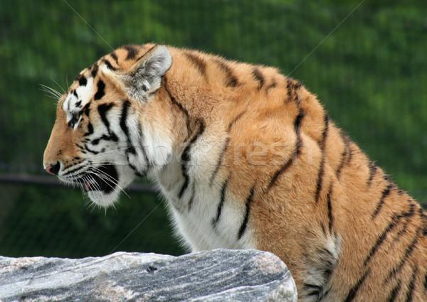 Mighty Siberian Tiger Stock photo © ca2hill