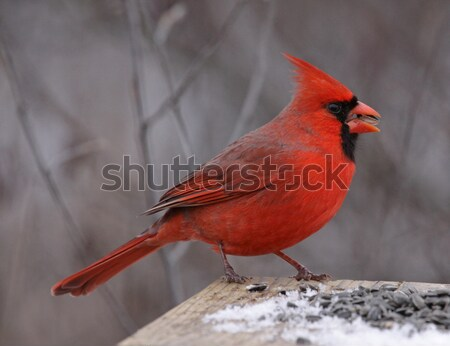 Feeding Northern Cardinal Stock photo © ca2hill