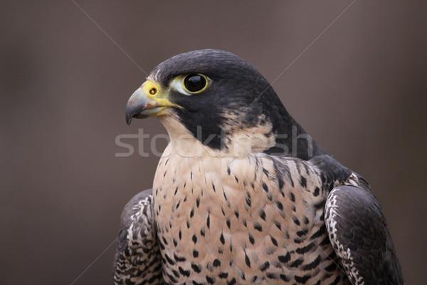 Peregrine Falcon Close-Up Stock photo © ca2hill