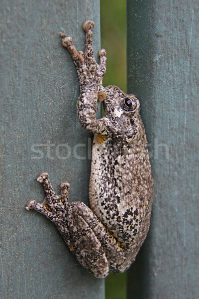Lodged Gray Tree Frog Stock photo © ca2hill