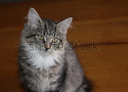 котенка профиль прелестный сидят таблице кошек Сток-фото © ca2hill