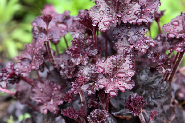 Obsidian Coral Bells Stock photo © ca2hill