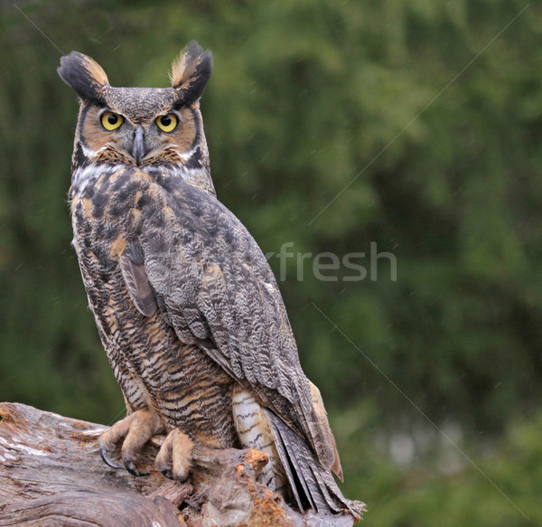 Stock photo: Great Horned Owl in the Rain