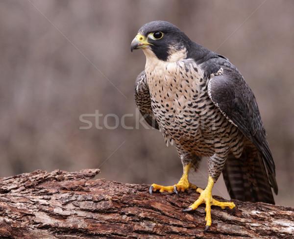 Arrabbiato falcon uccelli animali mondo natura Foto d'archivio © ca2hill