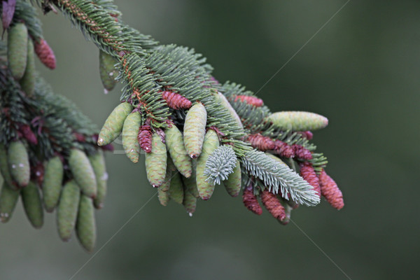 Spruce Pinecones on the Tree Stock photo © ca2hill