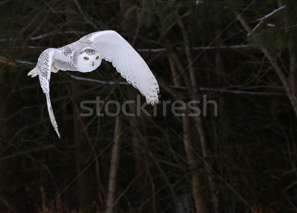 Snowy Owl in Flight Stock photo © ca2hill