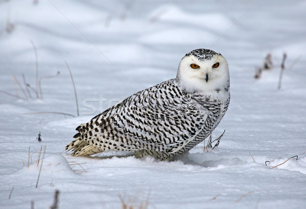 Snowy Owl in the Snow Stock photo © ca2hill