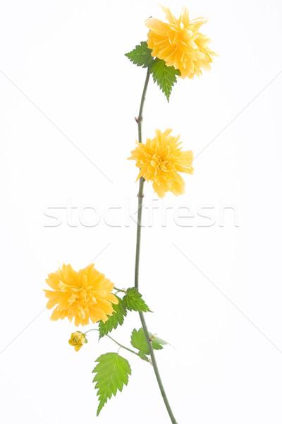 ág sárga virág fehér virágok tavasz természet Stock fotó © caimacanul