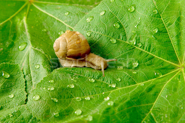 snail and water drops on green leaves Stock photo © caimacanul