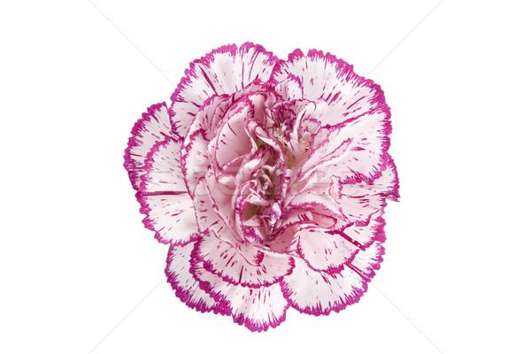 Clavel flor blanco rosa naturaleza Foto stock © caimacanul