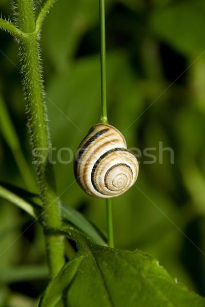 Csiga zöld növény elöl kilátás természet Stock fotó © caimacanul