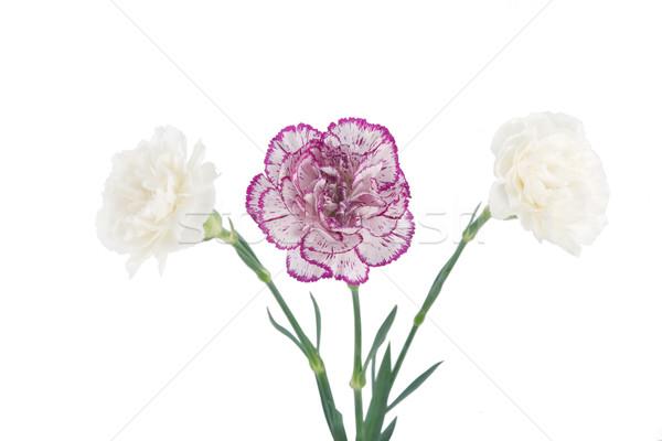 Weiß rosa Blüte Nelke Blumen Blume Stock foto © caimacanul