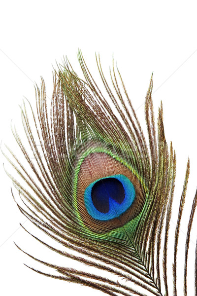 Detail of peacock feather Stock photo © caimacanul