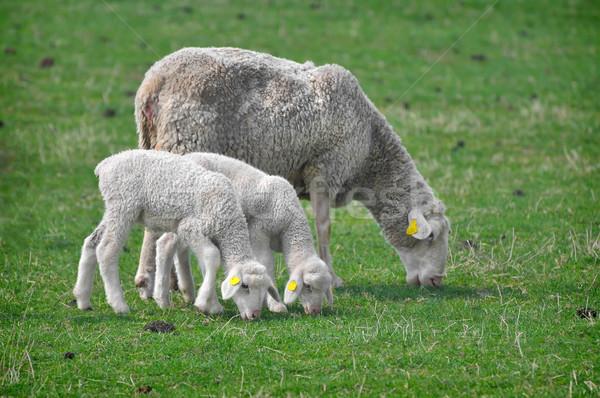 Birka farm testtartás tavasz baba fű Stock fotó © Calek