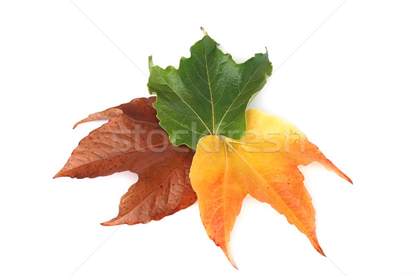 Leaves Stock photo © Calek